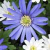 Anemone - Anemone blanda (Bulbs)