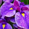 Iris Dwarf Reticulata (Bulbs)