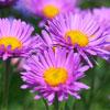 Michaelmas Daisy (Plants)