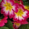 Primula (Plants)